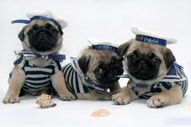 pug puppy wallpaper. Wonderful Puppy Pug Wallpaper Screensaver Background Cute Puppies I 736x490 Intended Puppy A