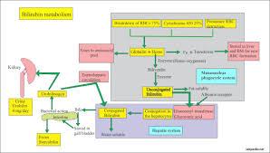 Bilirubin Part 1 Total Direct And Indirect Bilirubin
