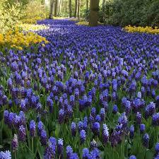 grape hyacinth bulbs. Perfect Bulbs Grape Hyacinth And Bulbs