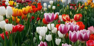 Afbeeldingsresultaat voor kleuren tulpen langwerpige foto