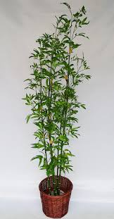 cheap office plants. 6 Ft Japanese Bamboo(green) Only Rm130 Cheap Office Plants I