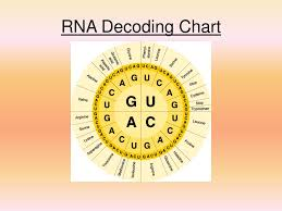 Ppt Chapter 12 Dna And Rna Powerpoint Presentation Free