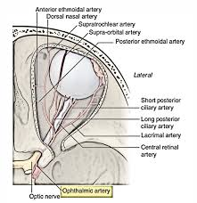 suspensory ligament of lockwood. it\u0027s branch of the internal carotid artery. it appears from artery as roof cavernous sinus medial to anterior suspensory ligament lockwood h