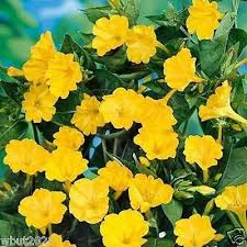 Best Yellow Perennials Ideas Only On Pinterest Black Eyed