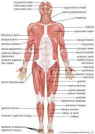 Related to the function of movement is the muscular system's second function: Human Muscle System Functions Diagram Facts Britannica