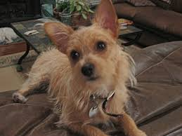 wire haired terrier mix. Contemporary Wire Wire Haired Terrier Chihuahua Mix Inside E
