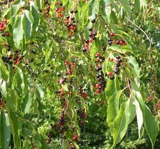 Redhaven Peach Prunus Persica U0027Redhavenu0027 In Greensboro High Fruit Tree Nursery North Carolina
