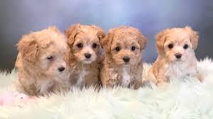 cindy barrett windy way puppies
