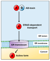 Endoplasmic Reticulum Ijms Free Full Text Toxins Utilize The Endoplasmic
