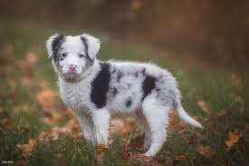 Border collie dog puppy leaves baby ...