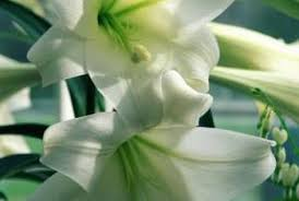 kinds of flowers like lilies there are only a few substitutes for the elegant lily flowers that look like lilies f28