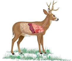 Deer Vitals Chart Plan And Practice Your Shot Strategy