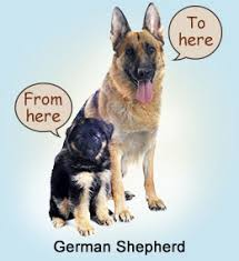 dog breed size chart chart to measure growth rate of your german shepherd