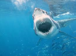 hammerhead shark bite. Brilliant Bite Hammerhead Shark Attack For Bite A