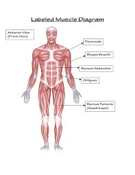 Clean Musculoskeletal Anatomy Chart Medical Muscle Chart