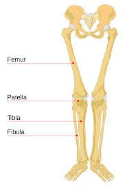 Leg Wikipedia Leg Bone Wikipedia