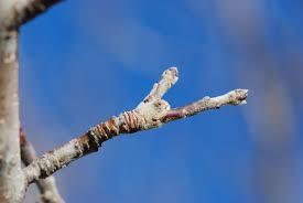 Early Season Tree Fruit Pest Control In 2015 U2014 Plant U0026 Pest AdvisoryDormant Fruit Trees