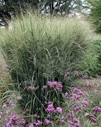 Tall Decorative Grass 13 Terrific Tall Grasses Hgtv