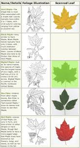 Ash Genus Common Trees Of The Pacific NorthwestFruit Tree Leaf Identification