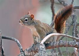 Squirrel Species Chart Red Squirrel Montana Field Guide