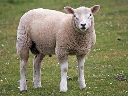 Znalezione obrazy dla zapytania sheep