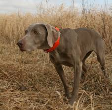 the weimaraner from the beginning of its breed history more than 100 years ago has been known as the gray ghost a good nickname for a gun dog with a