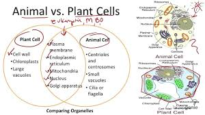 Comparing Animal And Plant Cells Venn Diagram Bacteria Animal And Plant Cell Venn Diagram Under