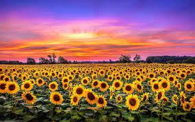 √ Sunflower Wallpaper 1920×1080