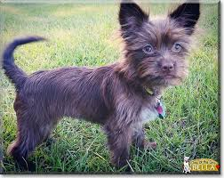 wire haired terrier mix. Beautiful Wire Bella The Wire Hair TerrierChihuahua Mix Dog Of Day To Haired Terrier Mix