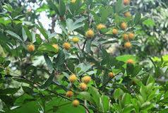 Song Of The Waves  Parayil A Tharakan Blog Photos Kerala FruitsKerala Fruit Trees