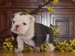 bulldog puppy for in fontana ca