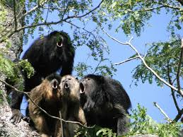 Laser Light To Scare Monkeys Calls Vs Balls Monkeys With More Impressive Roars Produce