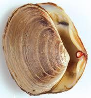 Clam Identification Chart Identifying Bivalve Shellfish
