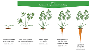 carrot plant stages. Fine Stages Lettuce Growing Stages Growth Stage Of And Carrot Plant O