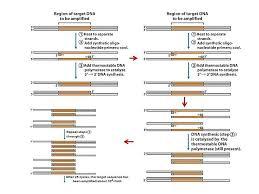 Structural Biochemistry Dna Amplification Technique Polymerase Chain
