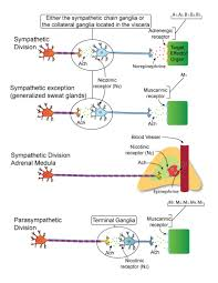 Adrenergic Receptors Chart Physiology Of The Ans