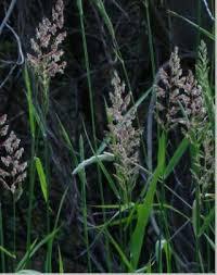 Растения луга Экология Реферат доклад сообщение кратко  Рис 177 Двукисточник тростниковидный phalaroides arundinaceus