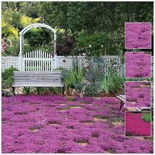 creeping thyme purple rain vigorous and hardy ground cover
