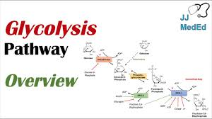 Glycolysis Chart With Enzymes Glycolysis Pathway Enzymes Regulation And Products