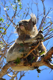 koala essay best images about cute nature koala panda panda rossi introducing great ocean road once you ve gotten your fill of n wildlife you get the