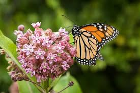 Image result for milkweed garden ideas