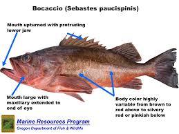 Grouper Species Chart Odfw Marine Sport Fish Id Species List
