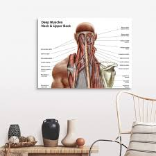 Some of these muscles are quite large and cover broad areas. Human Anatomy Showing Deep Muscles In The Neck And Upper Back Wall Art Canvas Prints Framed Prints Wall Peels Great Big Canvas