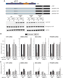 global dissociation of hur mrna complexes promotes cell survival figure 6