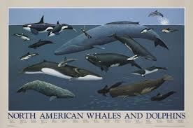 Whales By Size Chart North American Whales And Dolphins Posters Product Catalog