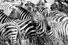 Zebra essay english        Original