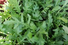 how to grow arugula arugula