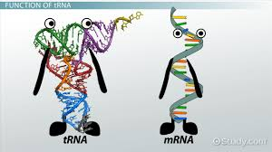 C) rna polymerase may recognize a promoter region and begin transcription. Trna Role Function Synthesis Video Lesson Transcript Study Com