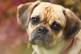 Puggle Growth Chart A Complete Guide To The Puggle A Pug Beagle Mix Breed