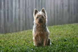 silky dog. australian silky terrier dog